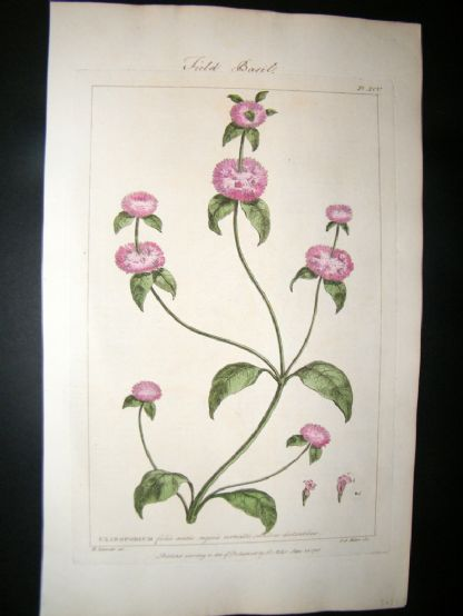 Miller 1760 Folio Hand Col Botanical Print. Field Basil 95 | Albion Prints